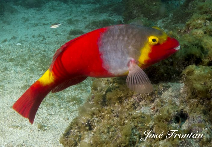 Canarian parrot fish diving tenerife