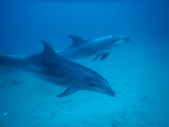 Dolphins Diving in Tenerife