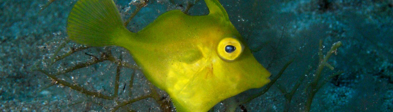 Juvenile File Fish diving tenerife