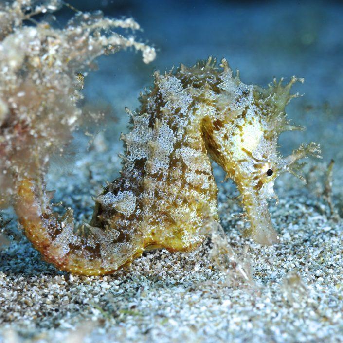 seahorse diving tenerife