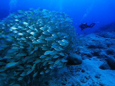 Tenerife Diving Palm Mar Roncadores