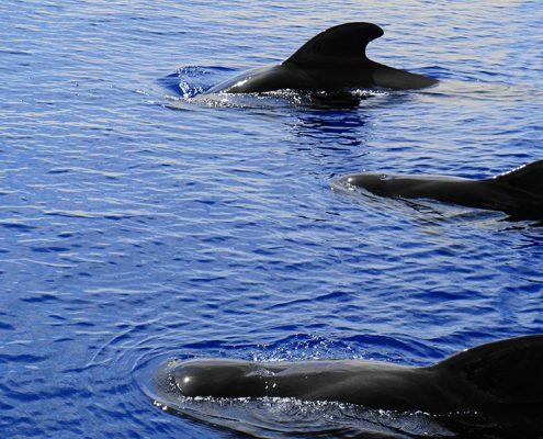 pilot whales tenerife