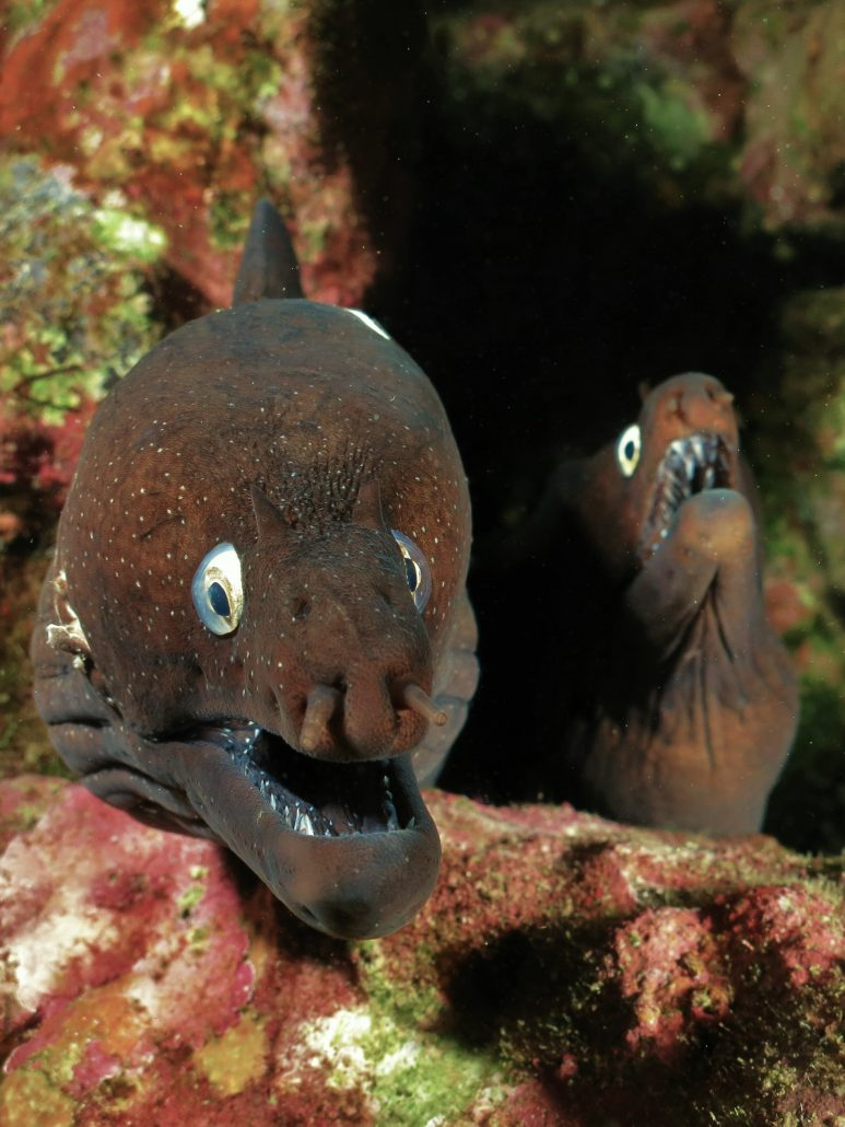 moray eels tenerife diving