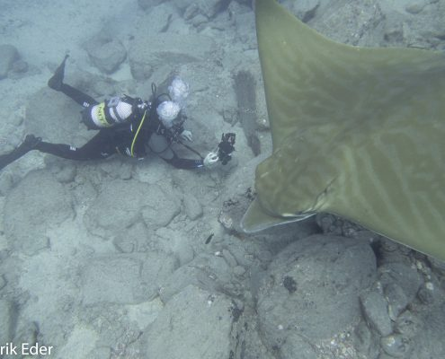 diver with bull ray in tenerife diving photographs