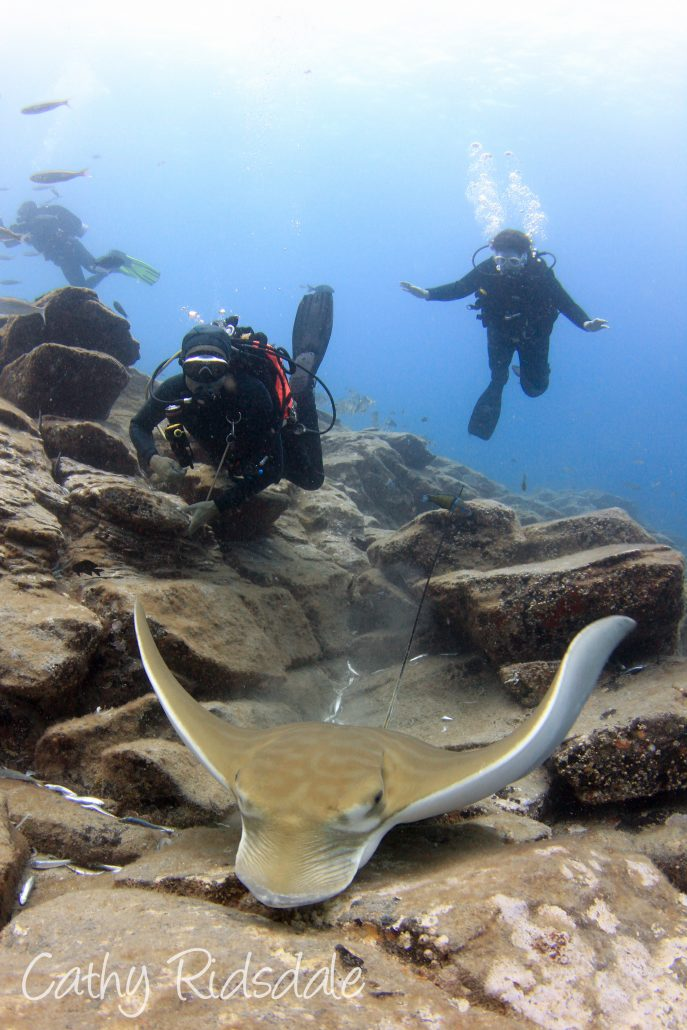 divers and bull ray in tenerife