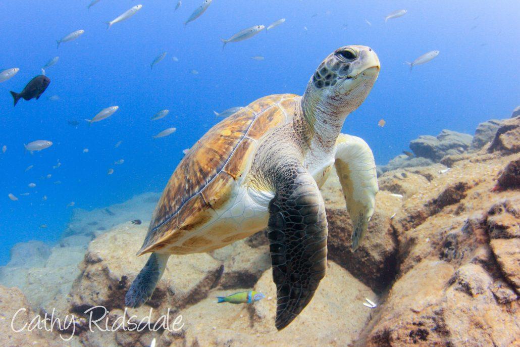 turtle in tenerife
