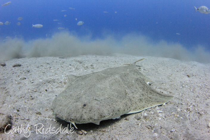 angel shark in tenerife