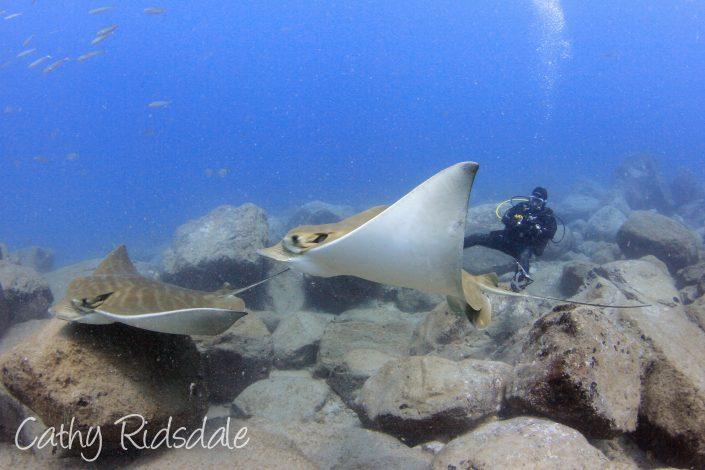 bull ray diving in tenerife