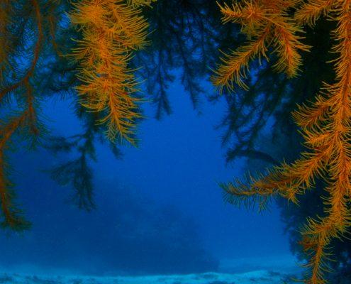 black coral tenerife diving