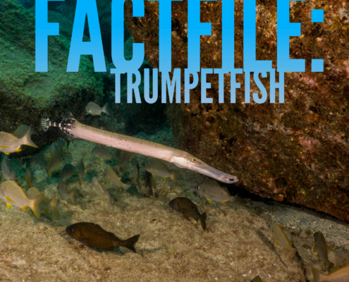 Atlantic trumpetfish tenerife